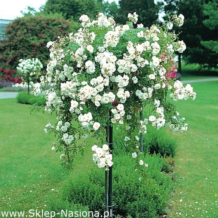Róża Pienna Fontannowa Biała Sadzonka W Pojemniku C4 W Sklep Nasiona Sprawdź Darmową Wysyłkę